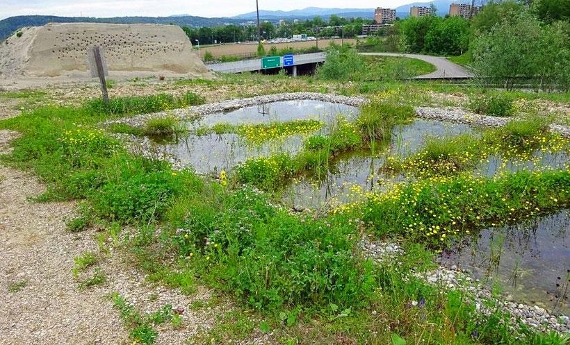 Naturschutzgebiet Hard in Rheinfelden, flache Teiche für Amphibien und künstliches Steilufer Uferschwalben