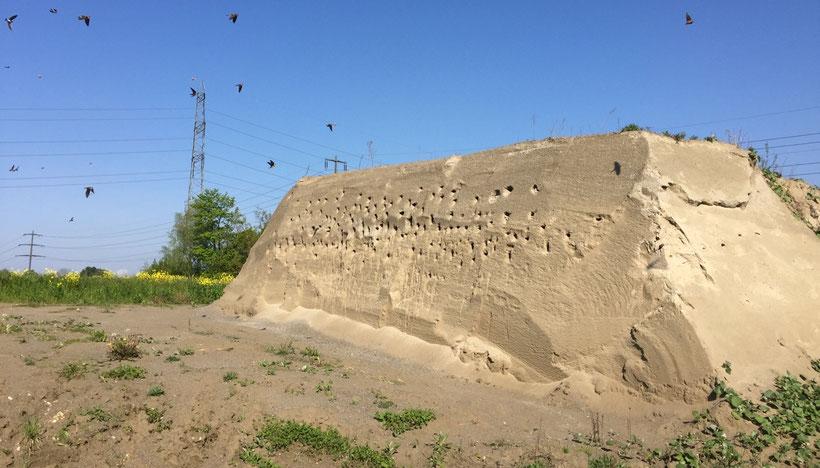 Uferschwalbenwand Rheinfelden Biodiversitätsförderung Naturschutz Biodiversität