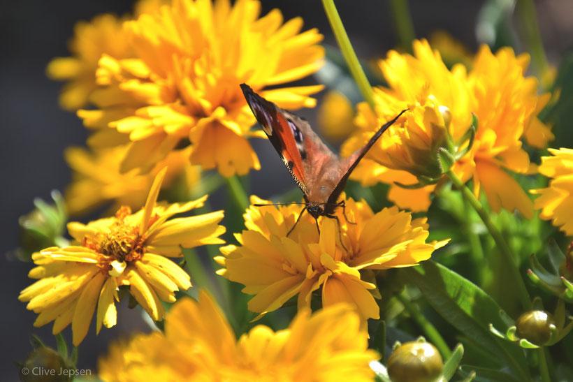 Ein Schmetterling bei der Arbeit.