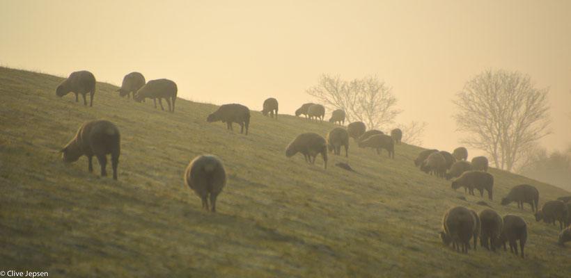 Im Dunst des Morgens sind die Schafe am Deich schon an frühstücken.