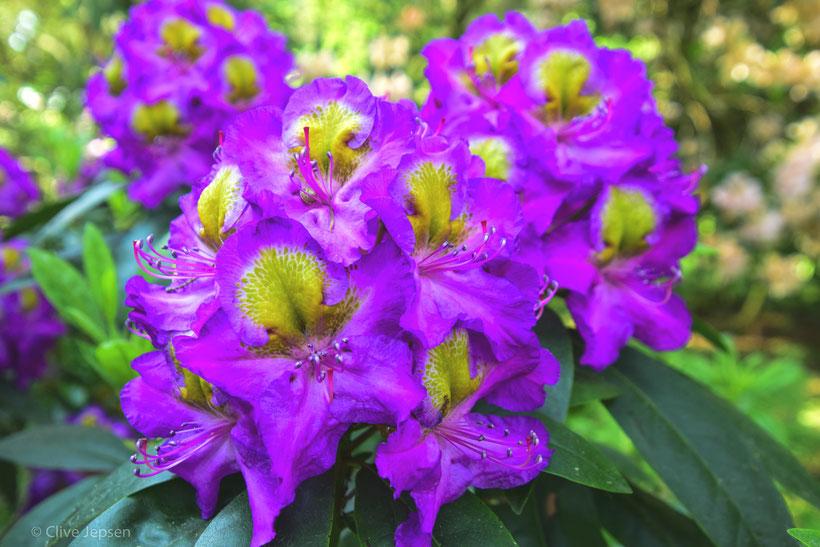 """Die """"Magic Eye"""",  eine besondere Rhodo Pflanze."""