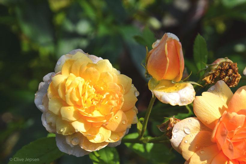 Rosen im Morgentau.