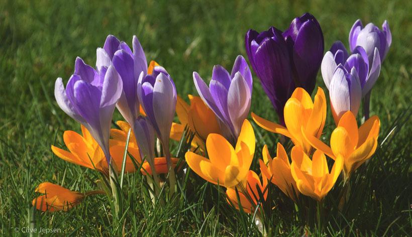 Die Mittagssonne läßt die Blüten leuchten.