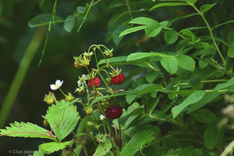 Im Rosarium in Wilhelmshaven gibt es auch naturverbliebene Beete, wo ich diese Wild-Erdbeeren fand. Nein, ich habe keine abgepflückt. :-))