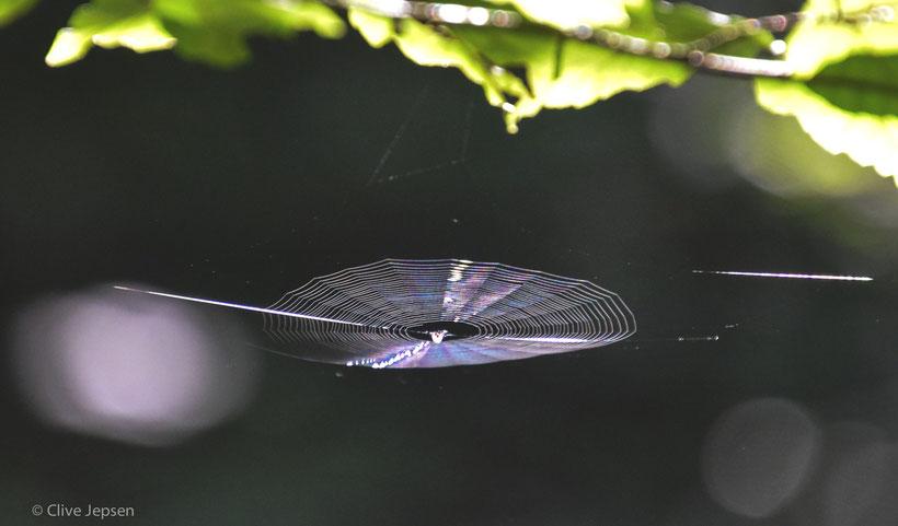 meistens sind die Spinnweben senkrecht gebaut. Diese Spinne war wohl Architekt und baute ihr Netz waagerecht.