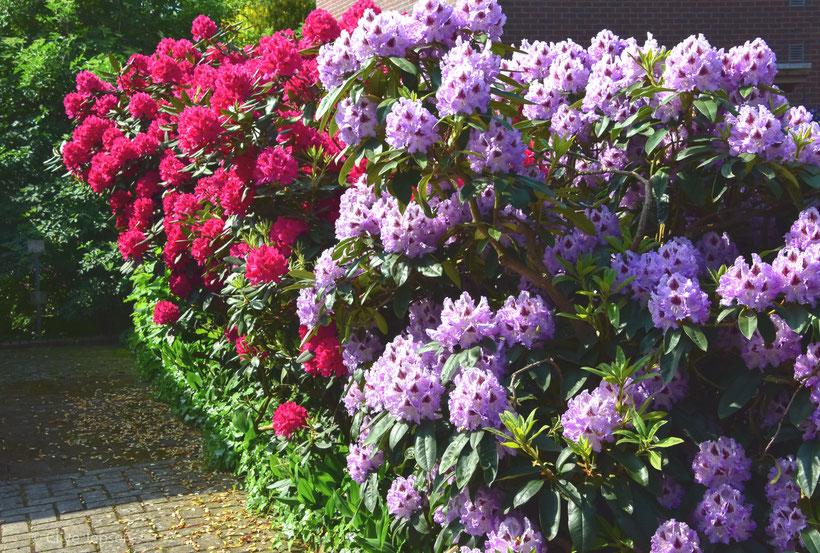 Die Rhodo Blüte im Landkreis Ammerland