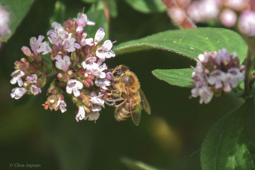 Bienen sind in meinem Wohnort leider selten geworden. Dafür habe ich viele Hummeln in den Beeten gesehen.