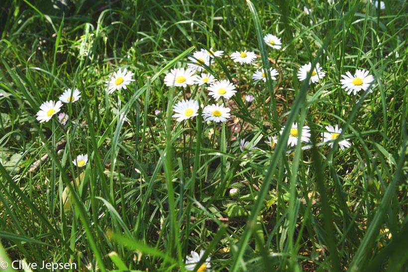 Gänseblümchen im Gras versteckt auf der Wiese