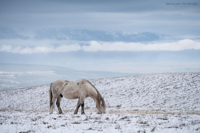 Wildpferde auf der Hochebene von Livno in Bosnien