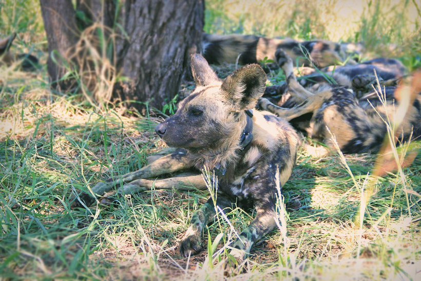 Extremely rare sighting: A bunch of wild dogs laying under the trees, just next to the road at Kruger National Park | Where to find the big 5 - The Ultimate Guide to Wildlife Safari in South Africa | via @Just1WayTicket | Photo © Sabrina Iovino