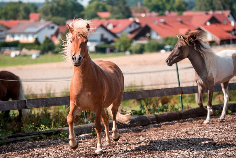 Erklärung Pferdesprache und Buttons, aufgeregtes Pferd, bessere Beziehung zu Pferd, Pferd verstehen.