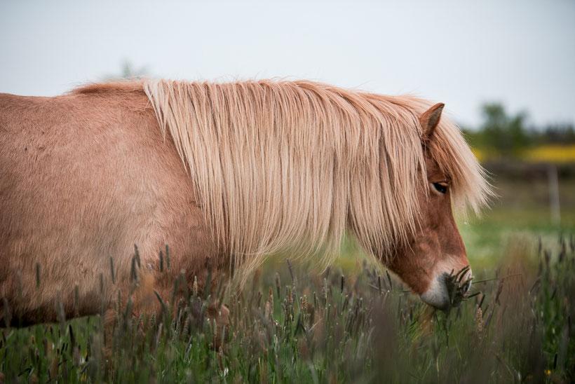 Fellwechsel Pferd, Tipps, gesundes Pferd, gesund füttern, fit durch den Fellwechsel, Mähne, Mähnenpflege
