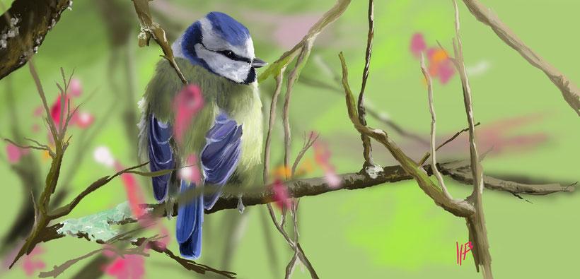 Mésange bleue - printemps