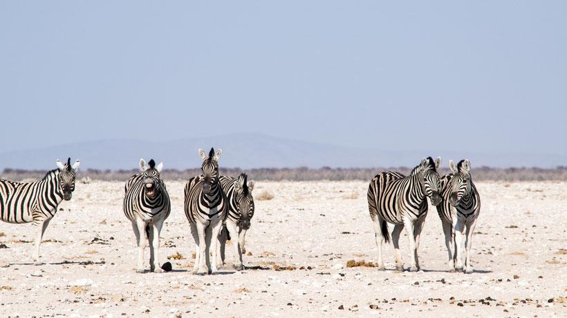 Zebras Etosha National Park Namibia