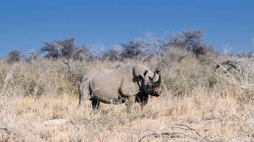 Spitzmaulnashorn im Etosha National Park Namibia