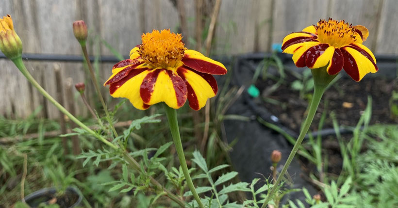 "Stripes of the ""Court Jester"" Marigold."