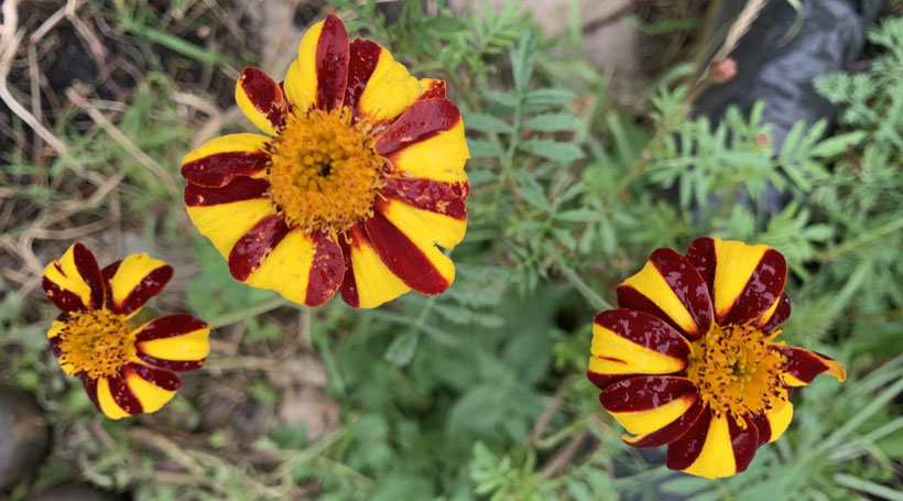 "Heirloom ""Court Jester"" French Marigold."