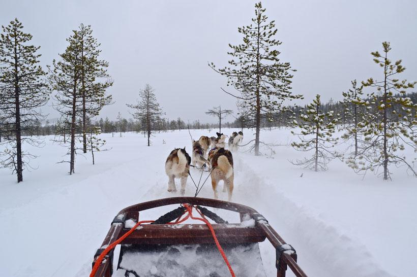 Husky Sledding in Rovaniemi, Finland