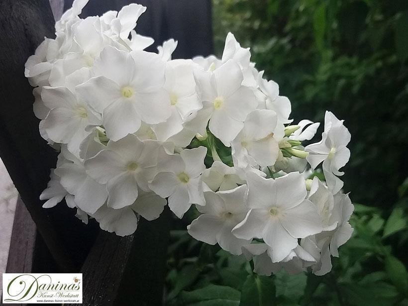 Weißer Phox: üppiger Sommerblüher bringt Poesie in den Garten