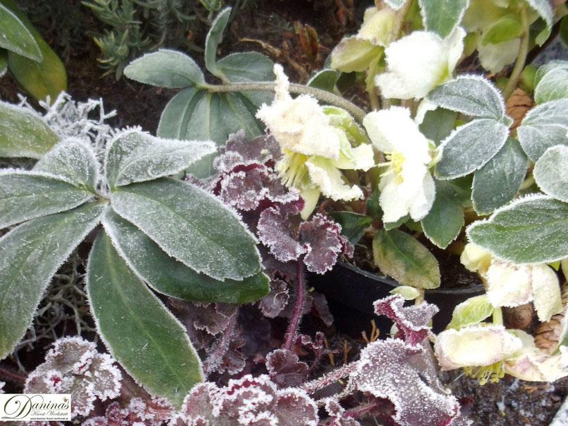 Friedhofsblumen: Schneerose bei Frost