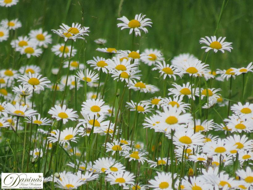 Blumenwiese und Bienenweide mit weißen Margeriten