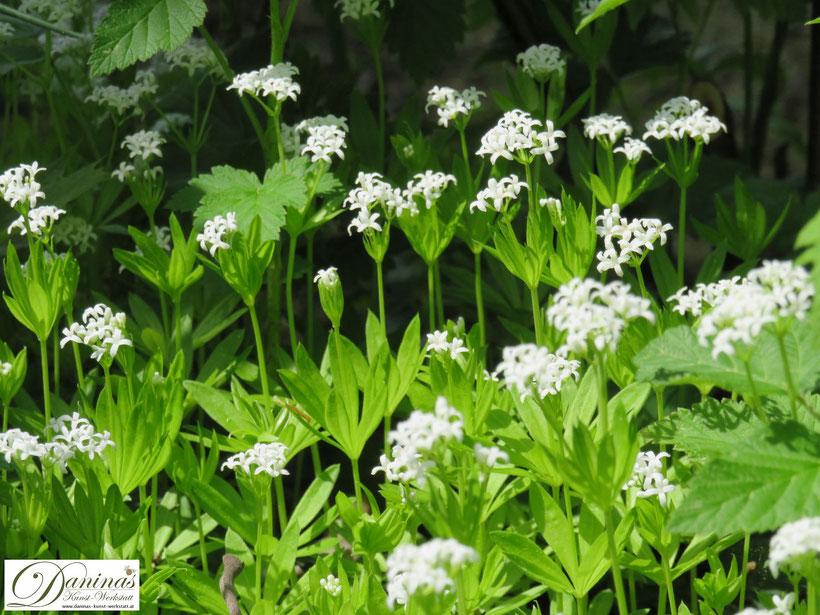 Waldmeister: ein wunderschön weiß blühender Bodendecker im halbschattigen Frühjahrsbeet