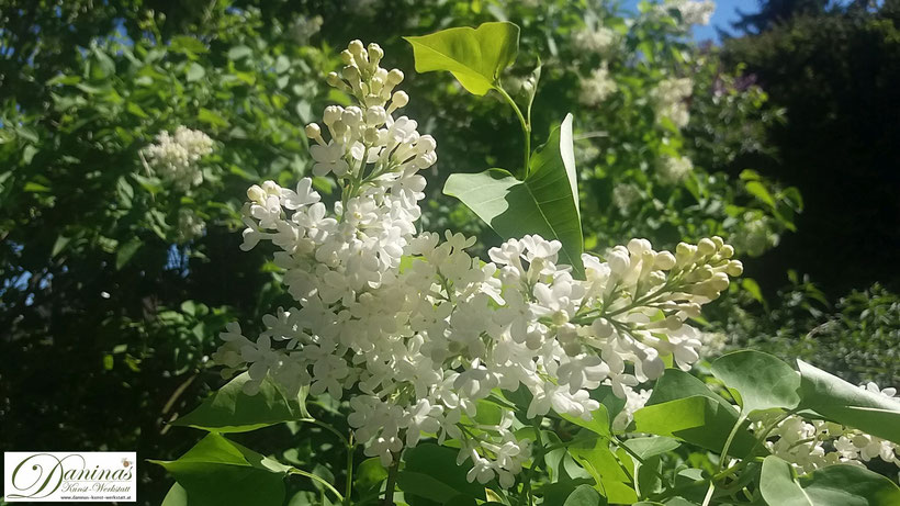 Weißer Flieder im Frühlingsgarten