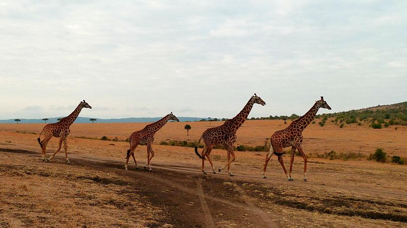 Giraffes Beattles Masai Mara Kenya