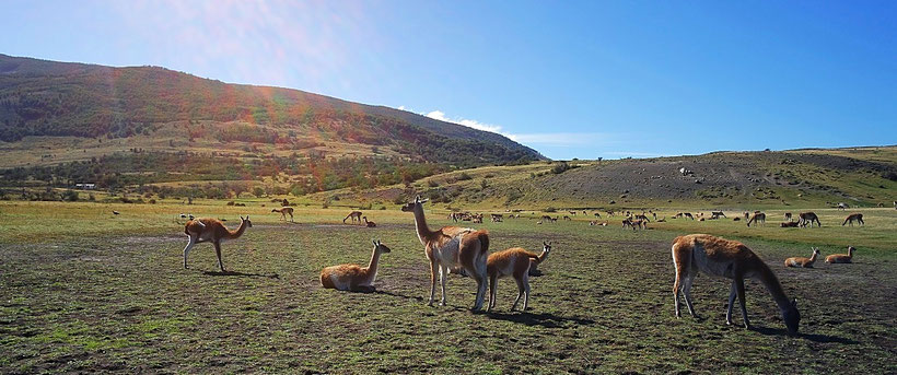Big group of Guanacos