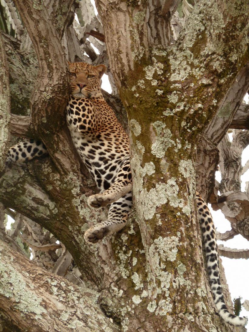 Leopard Tree Masai Mara Kenya