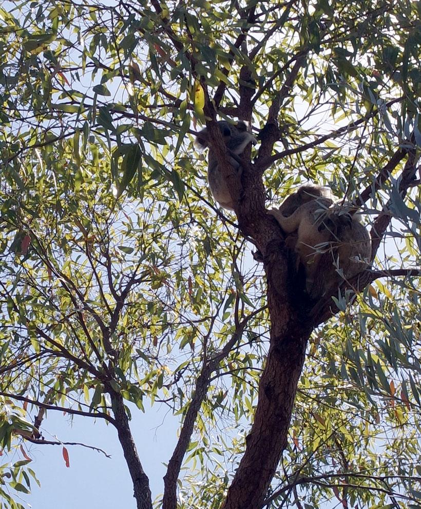 Koala mama with baby