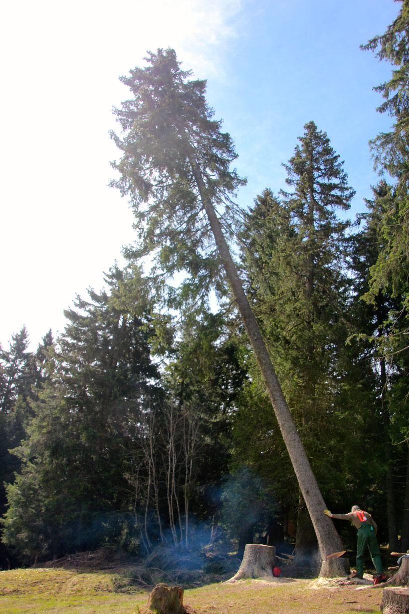 Waldarbeitstag, damit genügend Holz für unsere Gäste bereit steht. Hans Däscher (Vorstand Naturfreunde Chur) mit lockerer Hand bringt er den Baum zum kippen!!