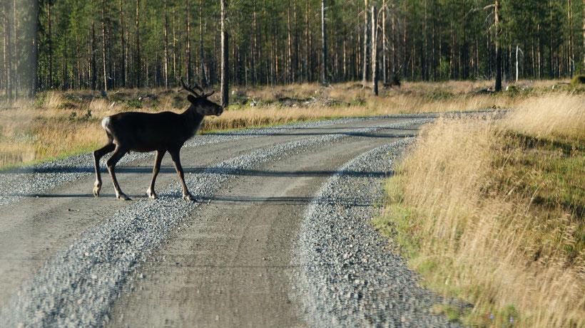 Rentier Schweden Skandinavien #NordkappUndZurück #Driveyourownway #explorewithoutnoimits wolf78-overland