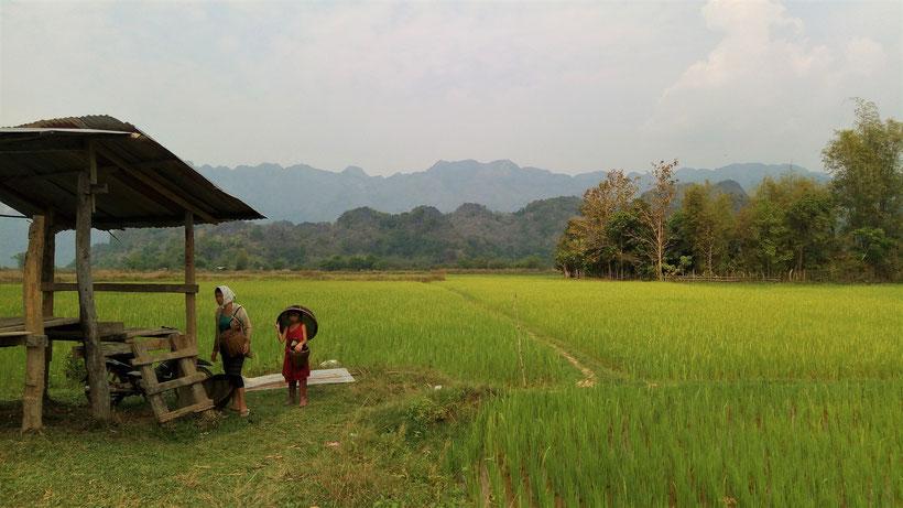 Les premières plantations de riz de la saison