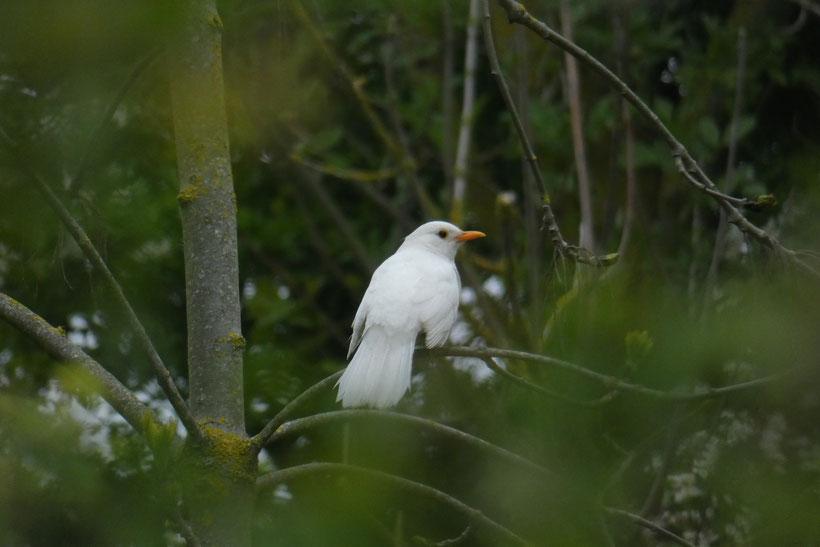 RARISSIME : Merle blanc photographié dans le camping par une visiteuse pationnée d'oiseaux et de nature (avec beaucoup de patience)