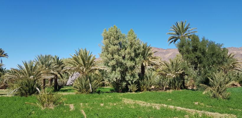 L'eau dans le désert au Maroc - palmeraie de M'hamid El Ghizlane
