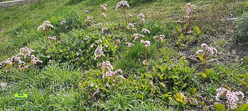 Wiese im Sonnenschein mit den rosa Bergenien und einigen fast weißen Beinwell-Pflanzen von K.D. Michaelis