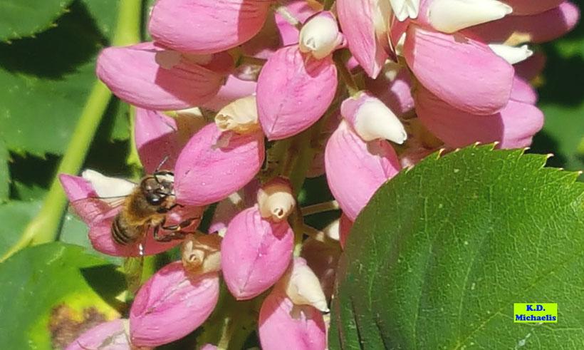 Biene auf Lupinen - insektenfreundlich gärtnern von K.D. Michaelis