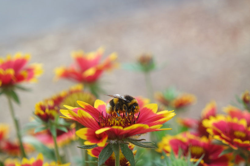 Hummel-Tankstelle Kokardenblume aus dem eBook/Buch: Bienen unterstützen und Bienen halten - Ein Plädoyer für Bienen und heimische Imker von K.D. Michaelis