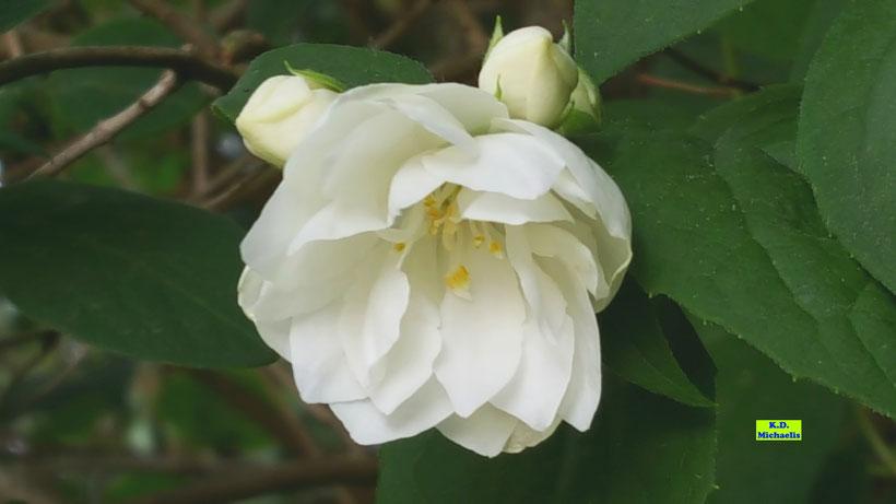 Weiße Blüten des Bauernjasmin, Gartenjasmin, Falscher Jasmin, Europäischer Pfeifenstrauch von K.D. Michaelis