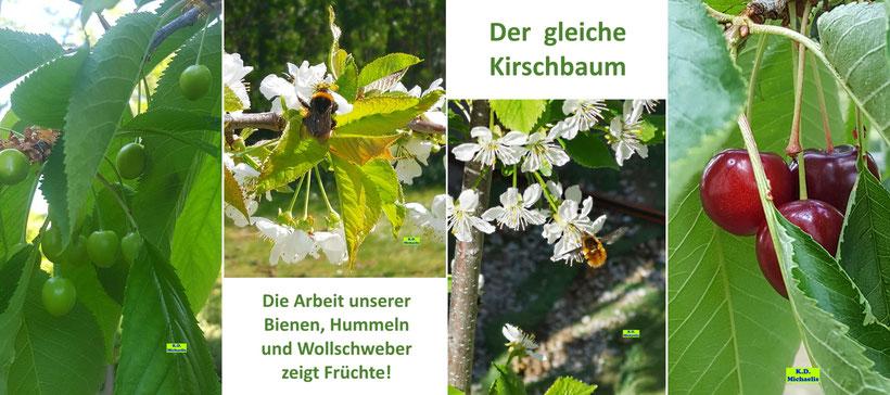 Die Entstehung von Kirschen von der Blüte, über die grünen Früchte bis hin zur reifen Kirsche und ihre dazu notwendigen Bestäuber, wie Hummeln und den Großen Wollschweber von K.D. Michaelis