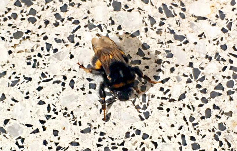 Notgelandete Hummelkönigin. eBook/Buch: Bienen unterstützen und Bienen halten von K.D. Michaelis