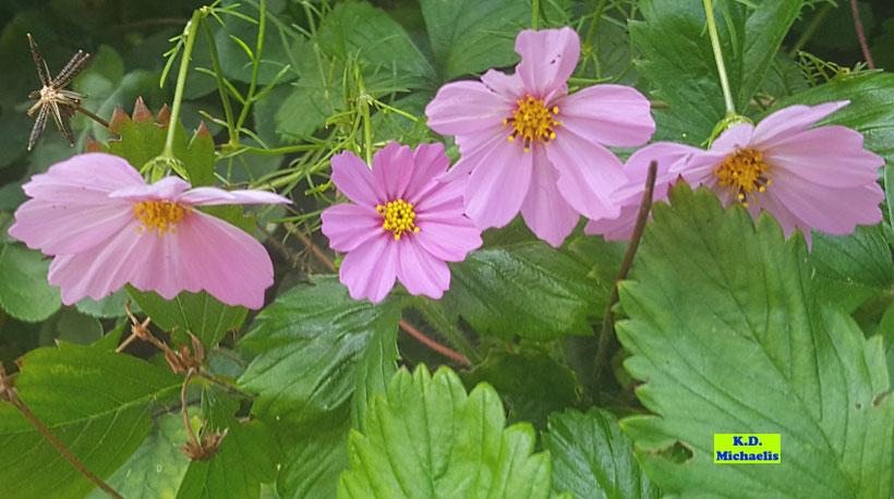 Nahaufnahme der pinkfarbenen Blüten und (ganz links) eines Samenstandes der Cosmea / Kosmee / des Schmuckkörbchens von K.D. Michaelis