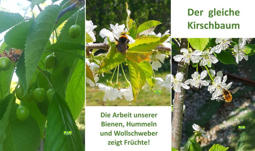 3 Bilder eines Kirschbaumes, 2 mal in der Blütezeit mit Hummel und Großem Wollschweber und 1 mal mit noch grünen Kirschen von K.D. Michaelis
