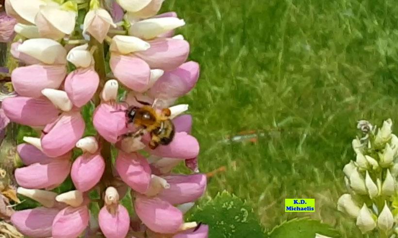 Hummel auf Lupinen - insektenfreundlich gärtnern von K.D. Michaelis
