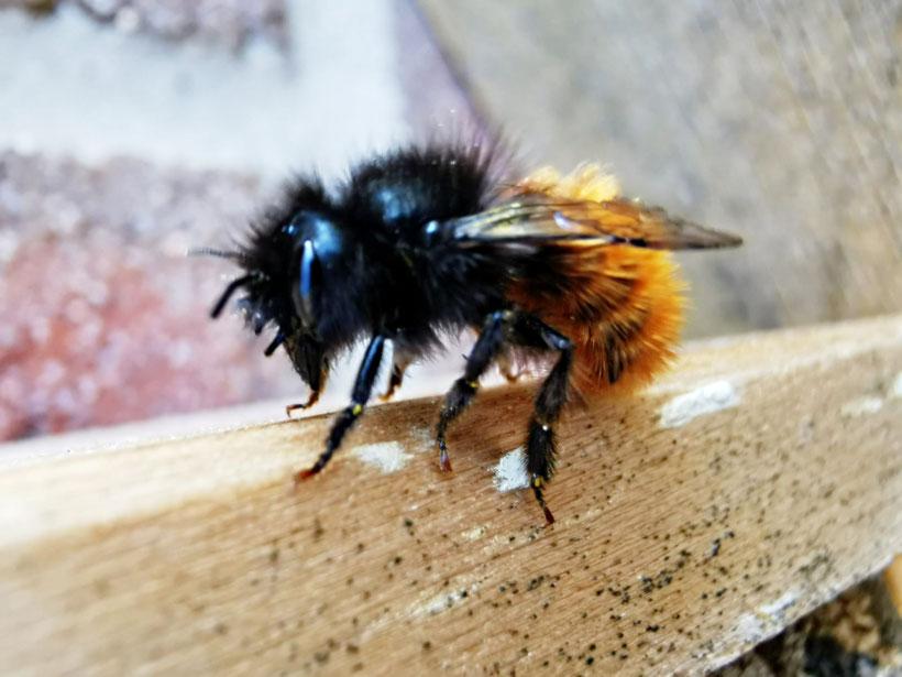 Nahaufnahme einer Roten Mauerbiene von Marc Wettering