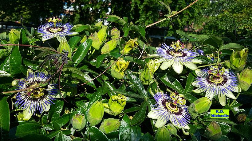 Die blaue Passionsblume - winterhart, perfekt für vertikale Gärten und eine tolle Bienen- und Hummelweide von K.D. Michaelis