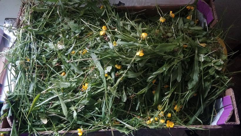 Im Sommer schneide ich täglich , sofern es nicht regnet, eine Kiste voll Wiese aus unserem Garten für unsere Hoppler
