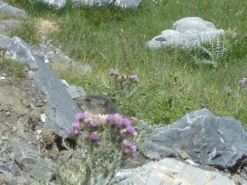 Et au retour, une marmotte daigne poser pour la photo!