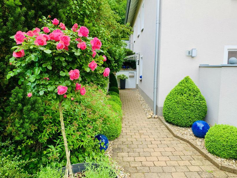 Eingangsbereich im Juni zur schönsten Rosenzeit, die Buchsbäume stehen Spalier für dir Gäste